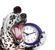 Dog yawns and going to sleep Royalty Free Stock Images