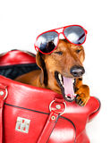Dog yawns looking out red bags Stock Photos