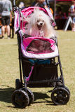 Dog Yawns Sitting In Baby Stroller At Canine Festival Stock Images