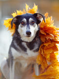 Dog in yellow autumn leaves. Royalty Free Stock Photos