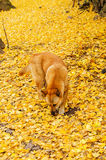 Dog on a yellow background ginkgo Royalty Free Stock Photography