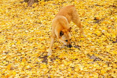 Dog on a yellow background ginkgo Royalty Free Stock Photo