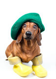 Dog in yellow boots. And green hat stock photos