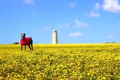 dog in Yellow field Royalty Free Stock Photography