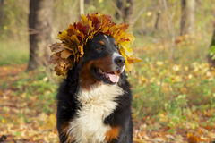 Dog in yellow leaves crown. Bernese mountain dog in yellow leaves crown looks aside sitting in autumn forest Royalty Free Stock Image