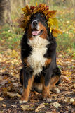 Dog in yellow leaves crown. Bernese mountain dog in yellow leaves crown looks up sitting in autumn forest Stock Image