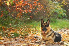 Dog in yellow, red leaves Stock Photography