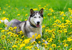 Dog and yellow spring dandelions. royalty free stock photo