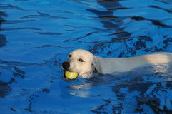 Dog with yellow tennis ball in a blue pool. Royalty Free Stock Image