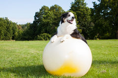 Dog on Yoga Ball. An Australian Shepherd Dog doing exercises on a Yoga ball in the park.  Stretching is very good for your dog Royalty Free Stock Photo