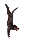 Dog yoga handstand pose stock photography