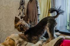 Dog in yoga pose. stock photo