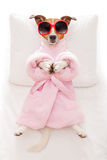 Dog yoga pose. Jack russell dog relaxing  with a prayer yoga pose with paws, in a spa wellness center, wearing a  bathrobe and sunglasses Royalty Free Stock Image