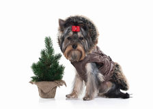 Dog. Yorkie puppy with christmas tree on white background Stock Photography