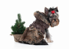 Dog. Yorkie puppy with christmas tree on white background Royalty Free Stock Photography