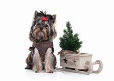 Dog. Yorkie puppy with christmas tree on white background Royalty Free Stock Photos