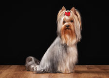 Dog. Yorkie puppy on table with wooden texture Stock Photography