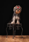 Dog. Yorkie puppy on table with wooden texture Stock Image