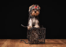 Dog. Yorkie puppy on table with wooden texture Stock Images