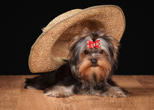 Dog. Yorkie puppy on table with wooden texture Royalty Free Stock Photos