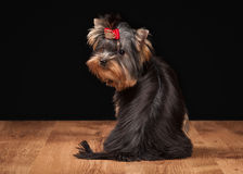 Dog. Yorkie puppy on table with wooden texture Stock Photo