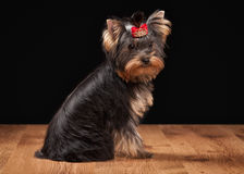Dog. Yorkie puppy on table with wooden texture. Yorkie puppy on table with wooden texture Stock Image