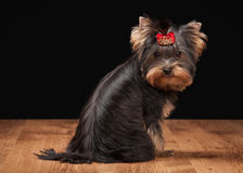 Dog. Yorkie puppy on table with wooden texture Royalty Free Stock Image