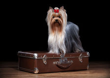 Dog. Yorkie puppy on table with wooden texture. Yorkie puppy on table with wooden texture Royalty Free Stock Photos