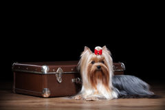 Dog. Yorkie puppy on table with wooden texture. Yorkie puppy on table with wooden texture Royalty Free Stock Photo