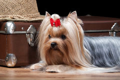 Dog.Yorkie puppy on table with wooden texture Stock Images