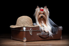 Dog.Yorkie puppy on table with wooden texture Stock Photography