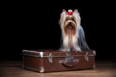 Dog.Yorkie puppy on table with wooden texture Stock Photo