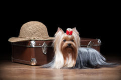 Dog.Yorkie puppy on table with wooden texture Stock Photos