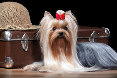 Dog.Yorkie puppy on table with wooden texture. Yorkie puppy on table with wooden texture Stock Photography
