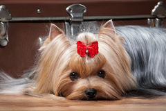 Dog.Yorkie puppy on table with wooden texture Royalty Free Stock Photo