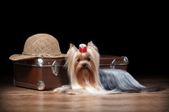 Dog.Yorkie puppy on table with wooden texture. Yorkie puppy on table with wooden texture Royalty Free Stock Photography