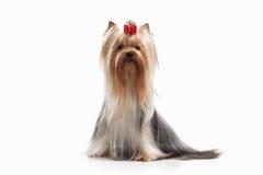 Dog. Yorkie puppy on white background Royalty Free Stock Photos