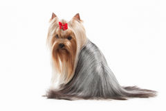 Dog. Yorkie puppy on white background Royalty Free Stock Image