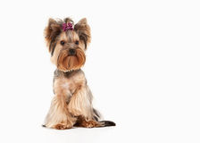 Dog. Yorkie puppy on white gradient background Royalty Free Stock Photo