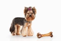 Dog. Yorkie puppy on white gradient background Royalty Free Stock Photos