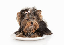 Dog. Yorkie puppy on white gradient background Royalty Free Stock Image