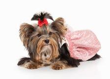 Dog. Yorkie puppy on white gradient background Stock Photos