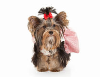 Dog. Yorkie puppy on white gradient background Stock Images