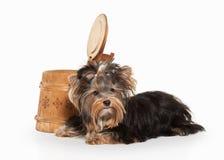 Dog. Yorkie puppy on white gradient background Stock Photo