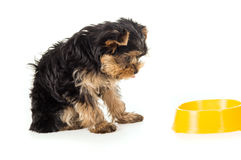 Dog Yorkshire Terrier with a bowl Stock Images