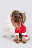 Dog Yorkshire Terrier dressed as Santa Claus sits Stock Images