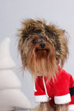 Dog Yorkshire Terrier dressed as Santa Claus sits Royalty Free Stock Photo