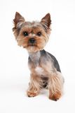 Dog Yorkshire Terrier funny. portrait Stock Photo