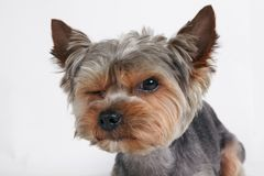 Dog Yorkshire Terrier funny winks. portrait Royalty Free Stock Photos