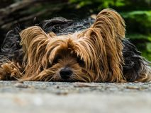 Dog, Yorkshire Terrier, Lazy Dog Royalty Free Stock Images